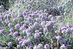 Abronia villosa WPC.jpg