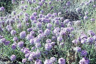 Abronia villosa - Image: Abronia villosa WPC