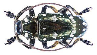 Pteropliini Tribe of beetles