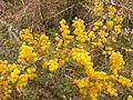 Acacia pravissima (5055338657).jpg