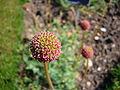 Acaena macrostemon 2007-06-02 (flower).jpg