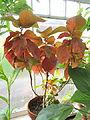 Acalypha wilkesiana - Talcott Greenhouse - Mount Holyoke College - DSC04511.JPG