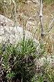 Acantholimon saravschanicum (Plumbaginaceae) (32381094023).jpg