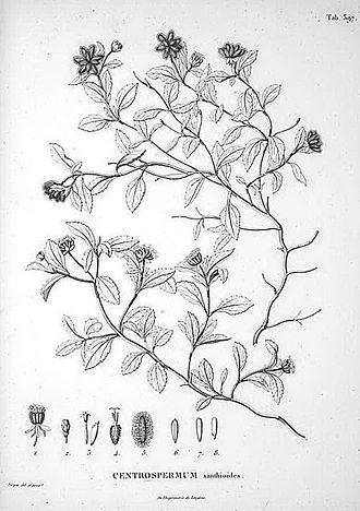 Acanthospermum australe - 1820 illustration