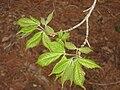 Acer henryi, Arnold Arboretum - IMG 6026.JPG