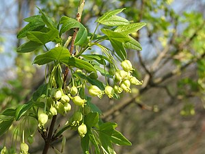 Acer monspessulanum - Flowers and young leaves in spring