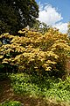 Acer palmatum, palmate maple, at Myddelton House, Enfield, London.jpg
