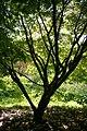 Acer palmatum 'Elegans' JPG1T.jpg