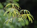 Acer pentaphyllum in Hackfalls Arboretum (3).jpg
