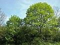 Acer platanoides 002.jpg