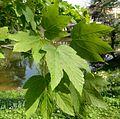 Acer pseudoplatanus - leaves - Palmengarten Frankfurt.jpg