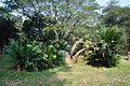 Acharya Jagadish Chandra Bose Indian Botanic Garden - Howrah 2011-01-08 9766.JPG