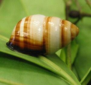 Oʻahu tree snail - Achatinella bulimoides