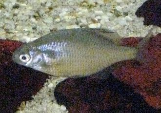 Cyprinidae - Acheilognathus longipinnis: Acheilognathinae