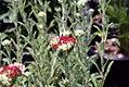 Achillea millefolium Red Velvet 1zz.jpg