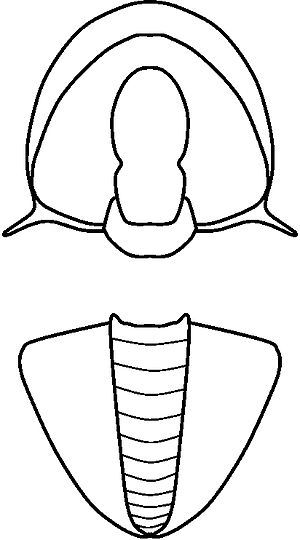 Acidiscus - Image: Acidiscus linedrawing