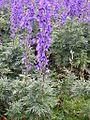 Aconitum napellus (13434532025).jpg