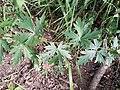 Aconitum variegatum subsp. variegatum sl54.jpg