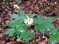 Aconitum vulparia1.jpg