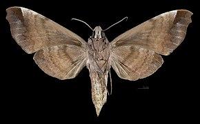 Acosmeryx anceus anceus MHNT CUT 2010 0 230 Sulawesi Female ventral.jpg