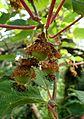 Actinidia chinensis kz2.jpg