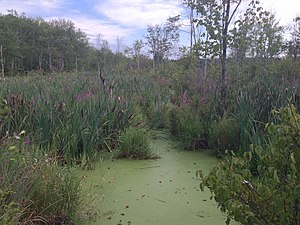 Acton, Massachusetts - Wetlands in Acton off Massachusetts ave, summer 2015