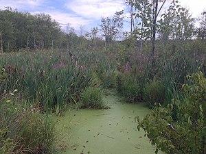 Acton, Massachusetts - Wetlands in Acton off Massachusetts ave, summer 2015