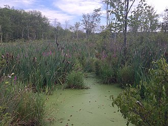 Acton, Massachusetts - Wetlands in Acton off of Massachusetts Avenue, summer 2015.
