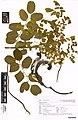 Adenanthera pavonina L. (AM AK350324).jpg