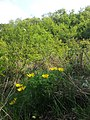 Adonis vernalis sl37.jpg