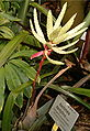 Aechmea dactylina HabitusInflorescence BotGardBln0806.jpg
