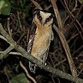 Aegolius harrisii-Buff-fronted Owl.jpg