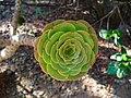Aeonium arboreum 03.JPG
