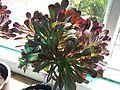 Aeonium arboreum atropurpureum-1-yercaud-salem-India.JPG