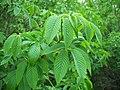 Aesculus californica-11.jpg
