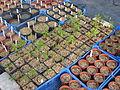 Aesculus californica seedlings (12545216643).jpg