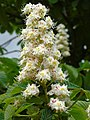 Aesculus hippocastanum.001 - Culleredo.jpg