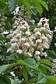 Aesculus hippocastanum flowers - City Park in Lučenec (1).jpg