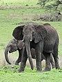 African Elephant (3076107728).jpg