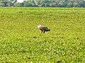 African Fish Eagle (6558980359).jpg