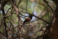 African Paradise Flycatcher (Terpsiphone viridis) in a tree.jpg