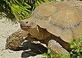 African Spurred Tortoise (Centrochelys sulcata) male (9186199894).jpg