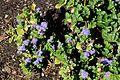 Ageratum houstonianum 'White Alp' in Jardin des Plantes de Toulouse 02.jpg