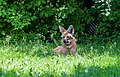 Aguará guazú (Chrysocyon brachyurus), Tierpark Hellabrunn, Múnich, Alemania, 2012-06-17, DD 01.JPG