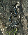 Alaus oculatus P1250485a.jpg