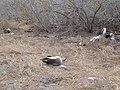 Albatross birds - Espanola - Hood - Galapagos Islands - Ecuador (4871653684).jpg