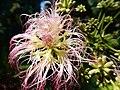 Albizia julibrissin, Morris Arboretum 02.jpg