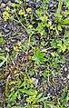Alchemilla monticola plant (04).jpg