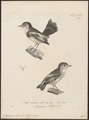 Alecturus tricolor - 1700-1880 - Print - Iconographia Zoologica - Special Collections University of Amsterdam - UBA01 IZ16500231.tif