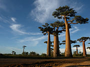 Giant baobabs clustered against the sky